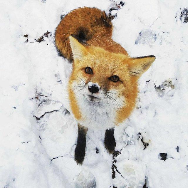 VL-FEAT-Zoo-in-Winter_Red-Fox_Snow-2017-Birmingham-Zoo.jpg