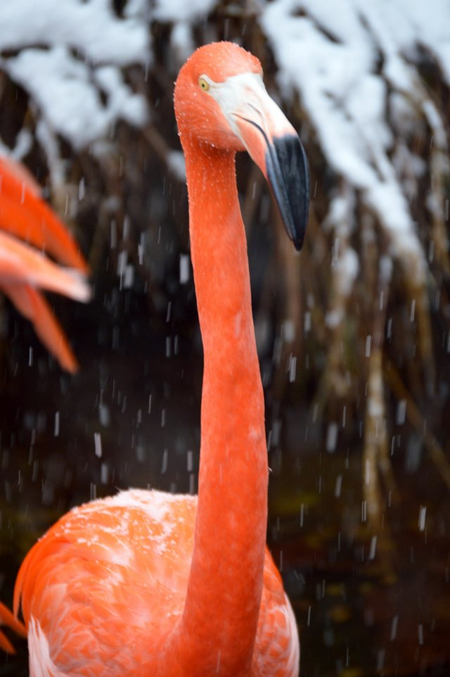 VL-FEAT-Zoo-in-Winter_Flamingo_Snow-2017-Birmingham-Zoo.jpg
