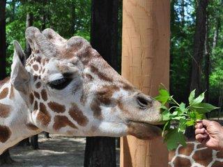 0412 Giraffe Encounter Birmingham Zoo