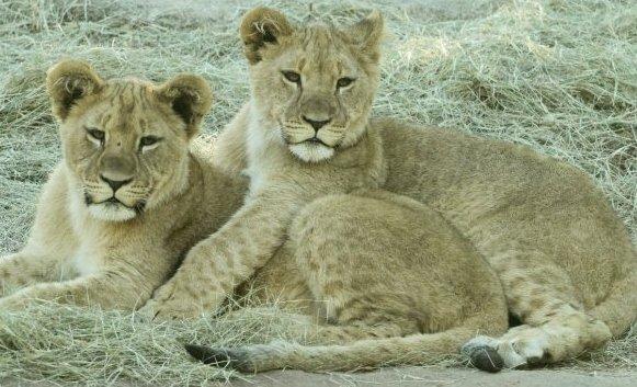 0521 Lion Cubs