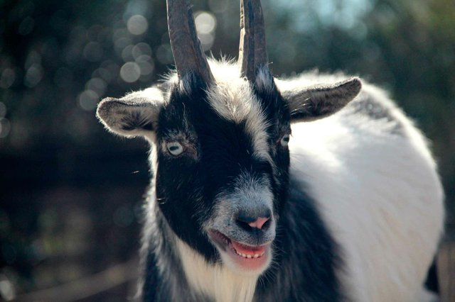 Dwarf Nigerian Goats Birmingham Zoo