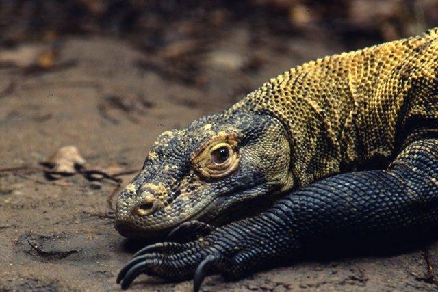 Birmingham Zoo's Komodo dragon