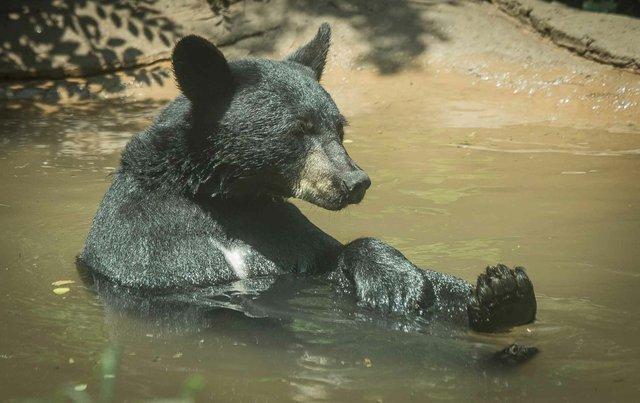Birmingham Zoo Black Bear