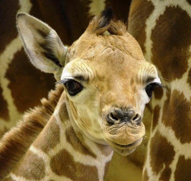 Griffin Giraffe Birmingham Zoo