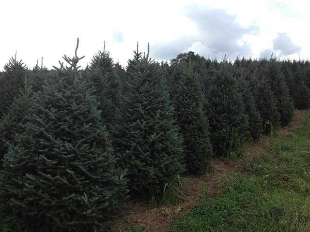1112 Christmas Tree Field