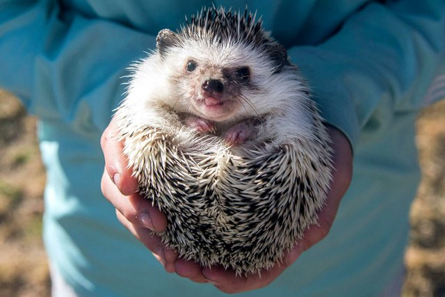 VL-FEAT-VillagePetsHedgehogs-10.jpg