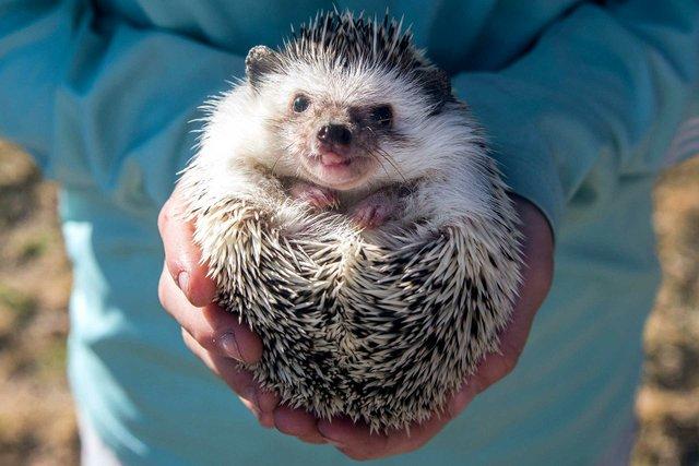 VL-FEAT-VillagePetsHedgehogs-10.jpg